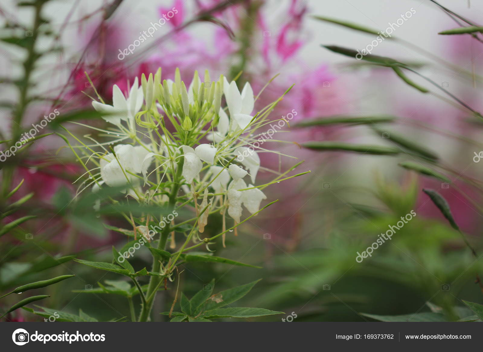 White spider flower close up stock photo verapon 169373762 white spider flower close up stock photo mightylinksfo