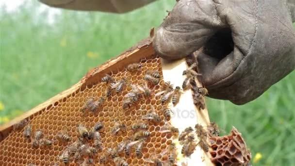 zblízka včelaře drží plástev