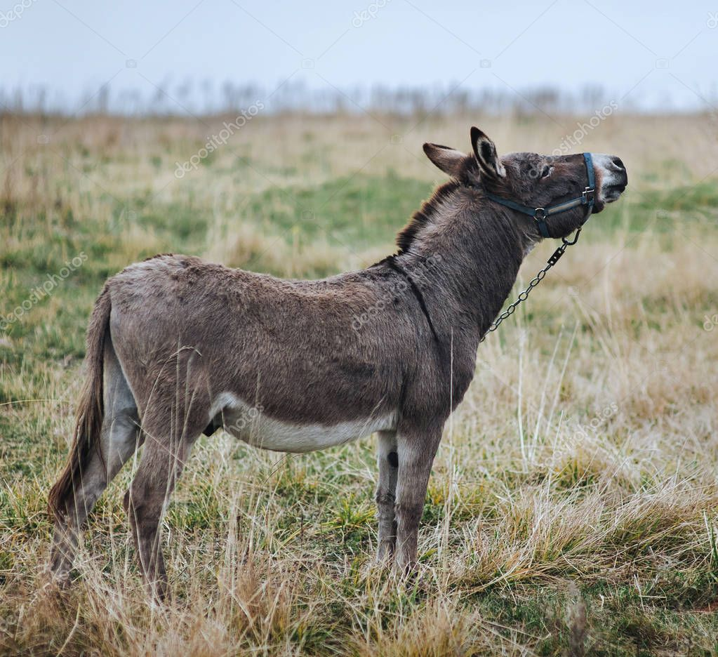 lonely sad gray donkey, tied with a chain, stands in the field and looks up.