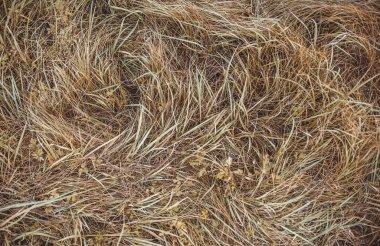 Autumn wild grass, top view. Wheat grass