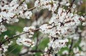 Větve stromu třešňových květů. Jarní květiny mladých. Slunečního záření přes větve