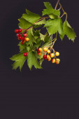 Shot of a twig with red viburnum berries on a  dark background with copy space