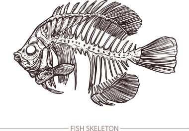 Sketch of Fish Skeleton