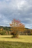 Lone tree during the fall