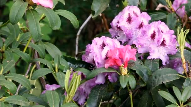 multiple colors of rhododendrons in the wind