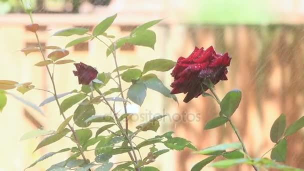 summer roses in a sprinkler