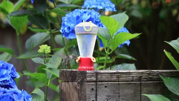 Kolibřík létající do a pití z podavače