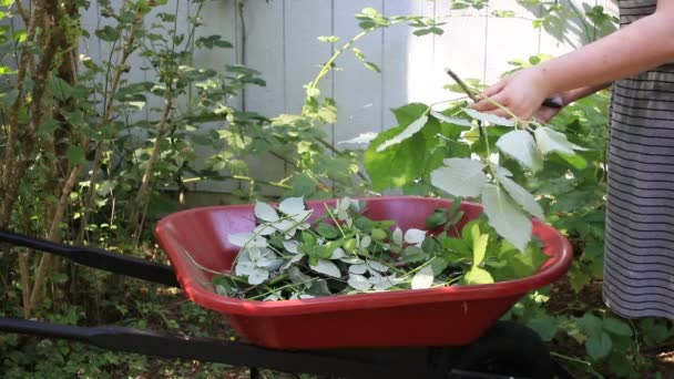 Carefully clipping black berries into wheel barrel