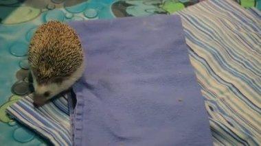 beautiful brown hedgehog moving around on blankets