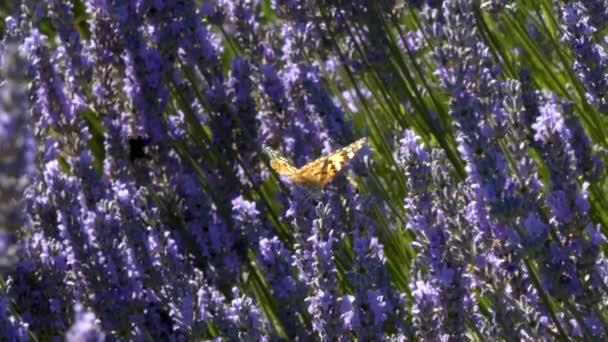 Orangefarbener Schmetterling und Bienen in violettem Lavendel