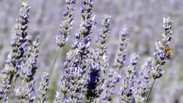 magas levendulaszárakon zümmögő méhek