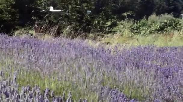 velké levandulové pole s včelami a větrem