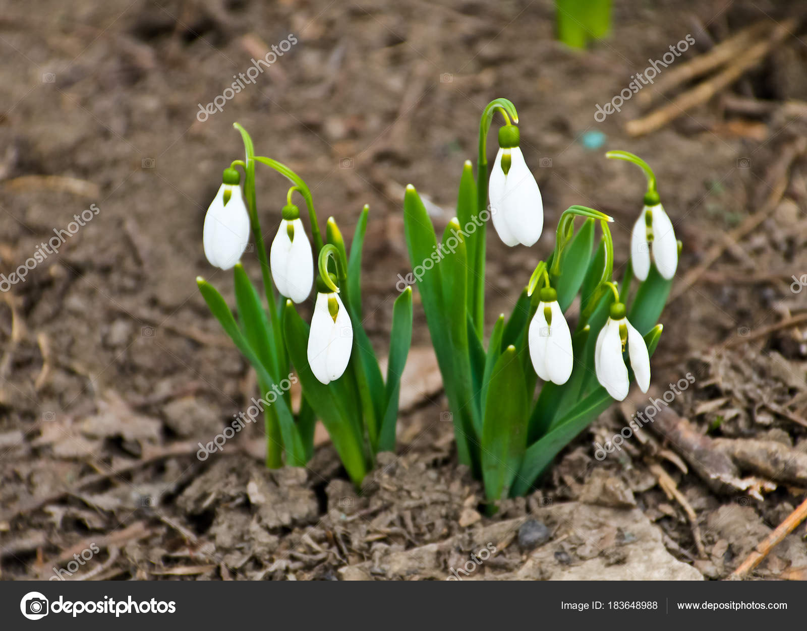 White Snowdrop Flowers Galanthus Nivalis On Early Spring Stock