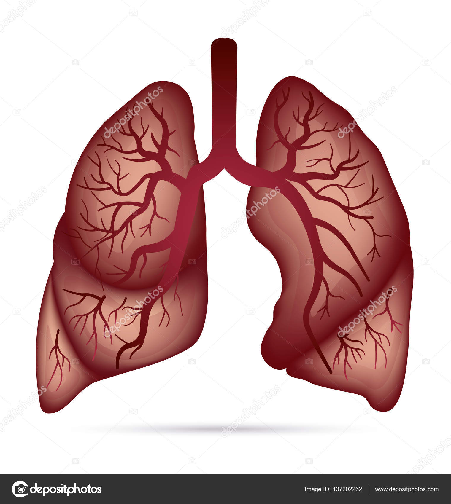 Human lungs anatomy for asthma, tuberculosis, pneumonia. Lung cancer ...