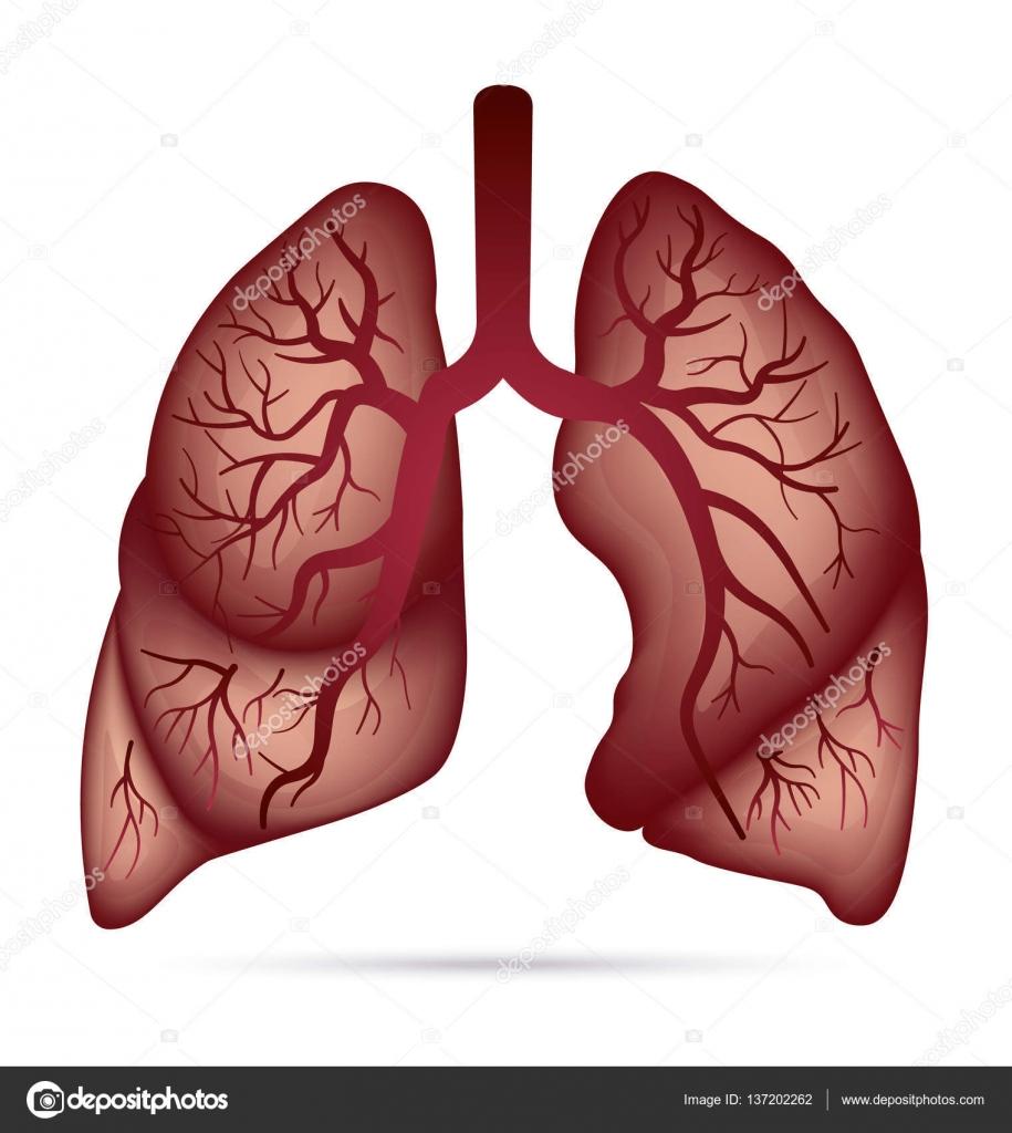 Anatomía de pulmones humanos para asma, tuberculosis, neumonía ...