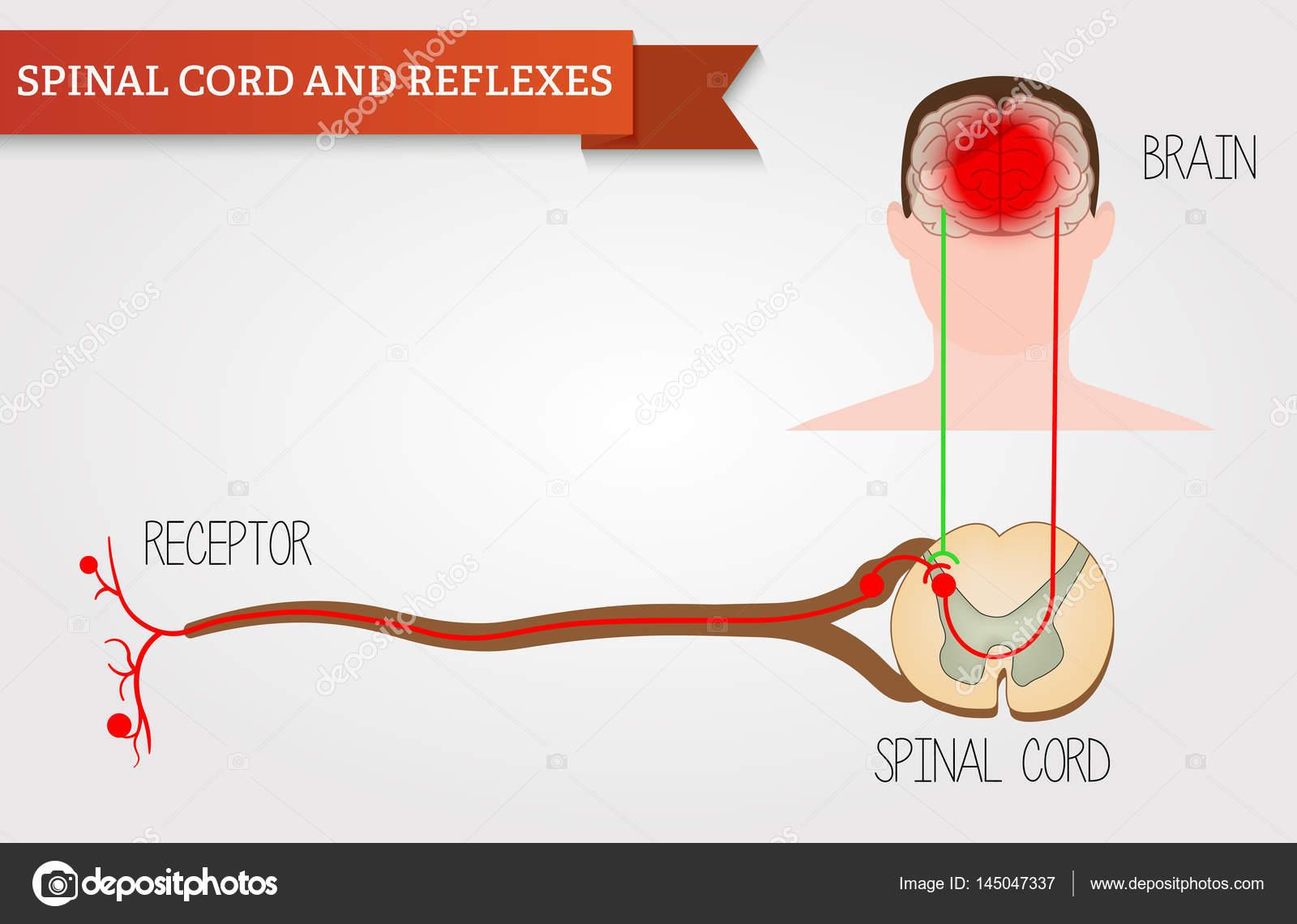 Infografiken Rückenmark und Reflexe. Zentrales Nervensystem ...