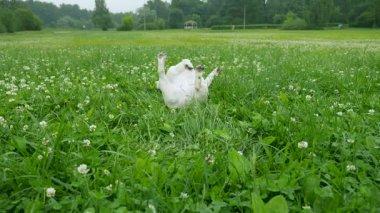 A vicces, fekete-fehér francia bulldog élvez séta területén virágok, a füvön feküdt, és vakarja a hátán, akkor fut a kamerát. Nyári 4k videóinak