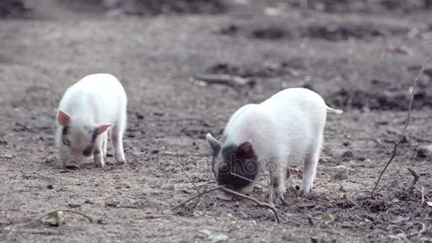 kleine Schweine graben im Boden