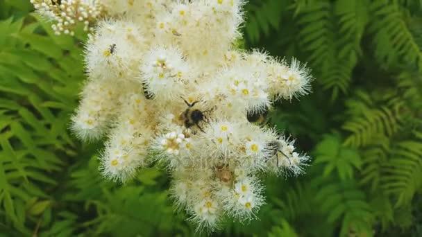 Bumble bee sbírá nektar v květech