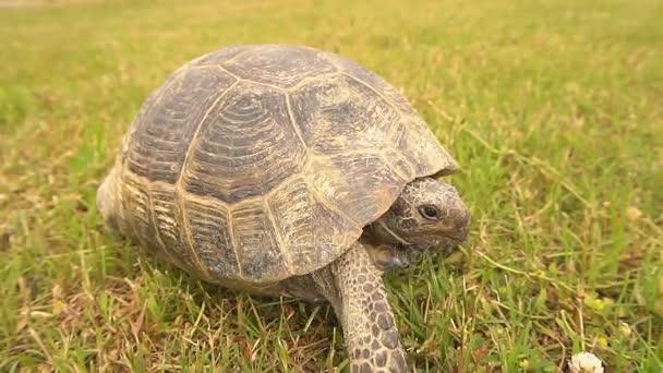 Lassú mozgás, teknős, séta a füvön