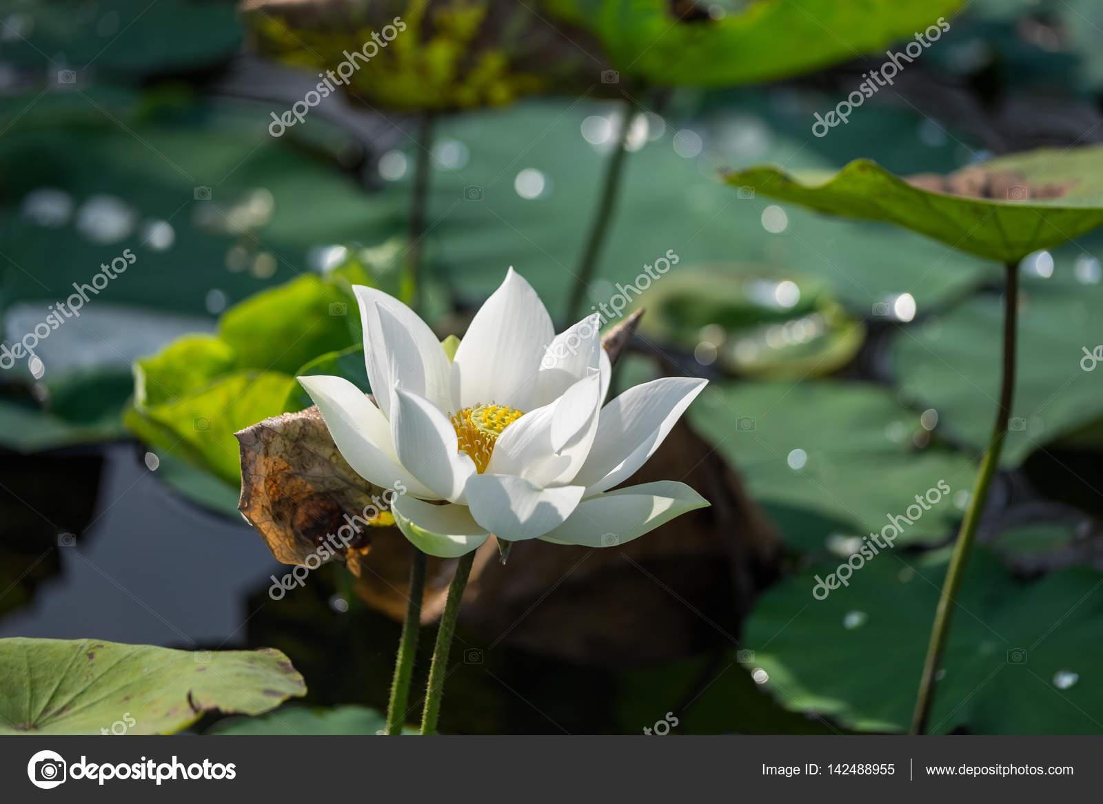 White Lotus Flower Stock Photo Jangnhutgmail 142488955