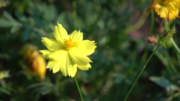 Yellow chrysanthemums in sunshine
