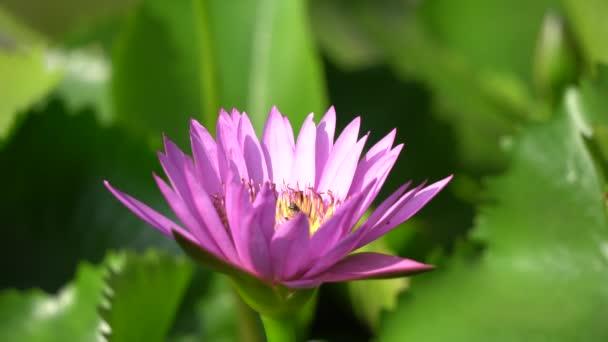 Tavirózsa és a méh