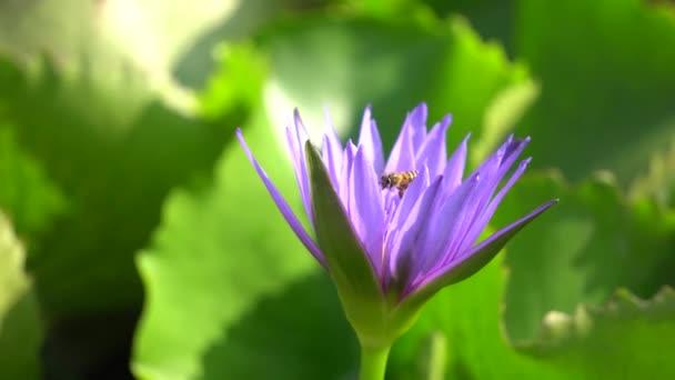 Egy gyönyörű lila tavirózsa a méh