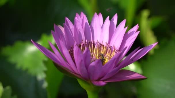 Krásný fialový leknín s bee