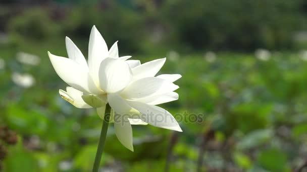 fehér lótusz virág