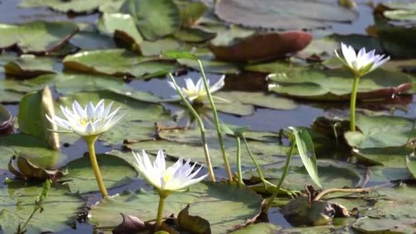 tavirózsa vagy a lótusz virág