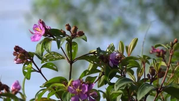 Rodomyrtus tomentosa divoké guava květina detailní