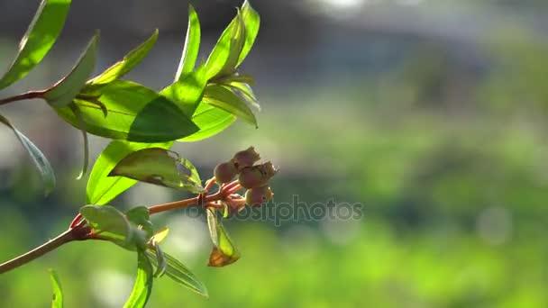 Rodomyrtus tomentosa wild guava flower closeup