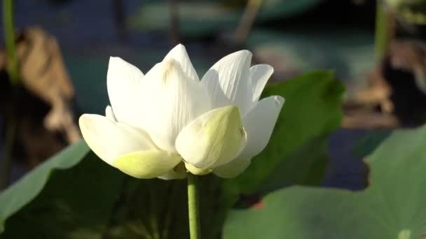 bílý Lotosový květ