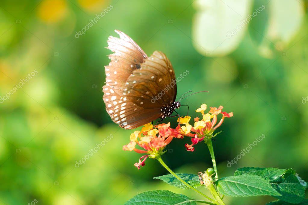 Butterfly feeding on lantana flower