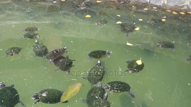 želva v rybníku