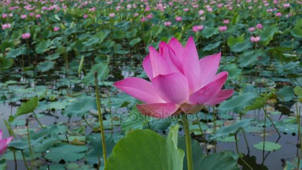 růžový Lotosový květ