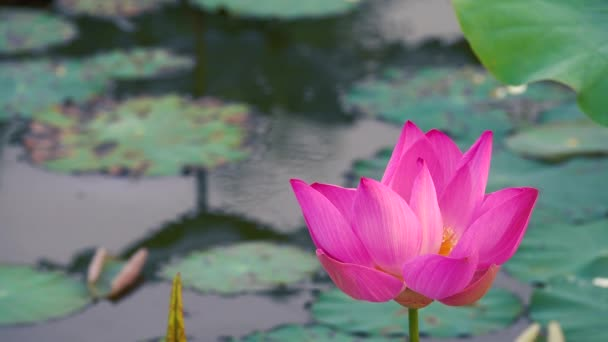 Pink lotus flower royalty high quality free stock footage beautiful pink lotus flower royalty high quality free stock footage of a beautiful pink lotus flower the background is the pink lotus flowers and yellow lotus bud mightylinksfo
