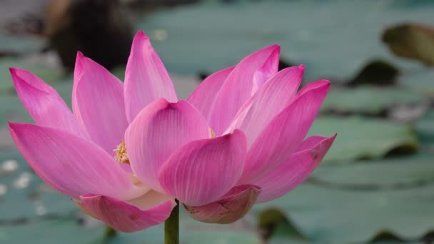 Rózsaszín lótuszvirág. Jogdíj kiváló minőségű ingyenes stock felvételek egy gyönyörű rózsaszín lótuszvirág. A háttérben pedig a rózsaszín virágok sárga lótusz bud a tóban. Béke jelenet egy vidéken