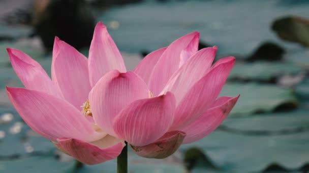 Růžový lotos flower. Licencovaní vysoce kvalitní bezplatné stopáže krásné růžové lotosového květu. Na pozadí je růžové lotosové květy a žluté lotus bud v rybníku. Mírové scény v přírodě