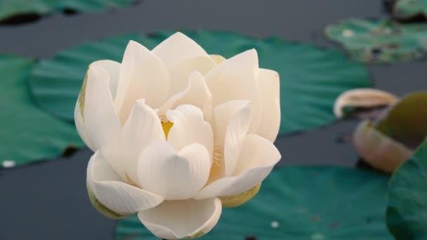 Lotosový květ. Licencovaní vysoce kvalitní bezplatné stopáže bílý lotosového květu. Na pozadí je Lotos a bílý Lotosový květ a žluté lotus bud v rybníku. Míru scéna venkově, Vietnam