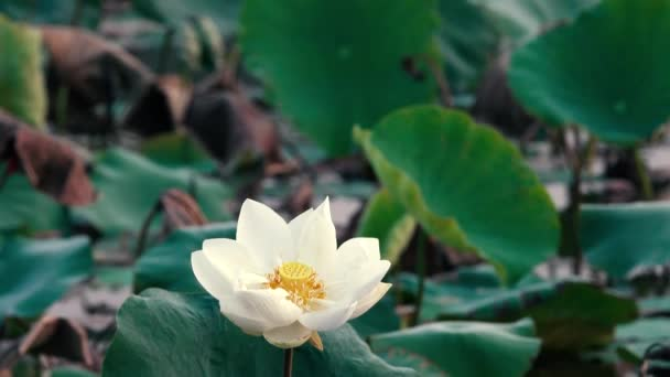 White Lotus Flower Royalty High Quality Free Stock Footage White