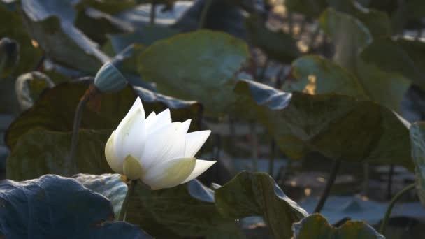 Fehér lótusz virág. Jogdíj kiváló minőségű ingyenes stock felvételek egy fehér lótusz virág. A háttérben az a lótusz levél, a fehér lótusz virág és a sárga lótusz bud a tóban. Béke jelenet egy vidéken, Vietnam