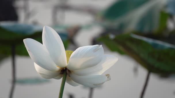 White lotus flower royalty high quality free stock footage white white lotus flower royalty high quality free stock footage of a white lotus flower the background is the lotus leaf and white lotus flower and yellow mightylinksfo
