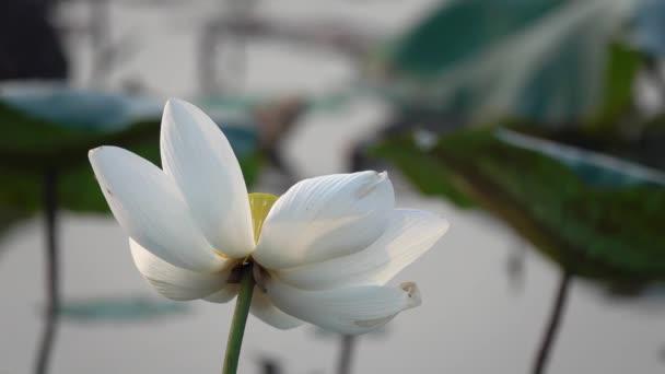Weiße Lotusblüte Lizenzgebühren Hochwertige Kostenlose Stock Footage ...