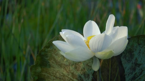 Fleur Lotus Blanc Redevance Haute Qualite Gratuit Video Stock Une