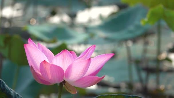 Fleur Lotus Rose Redevance Haute Qualite Gratuit Video Stock Une