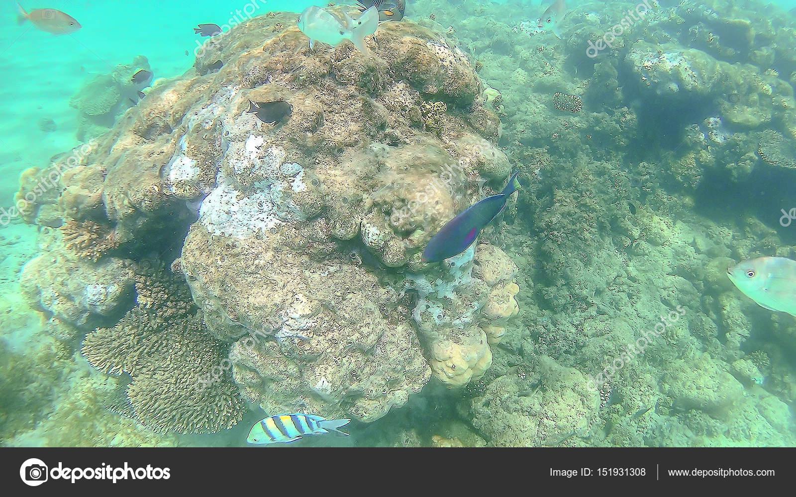 Parrot fish, perch, carp swim around the bright colorful coral r ...