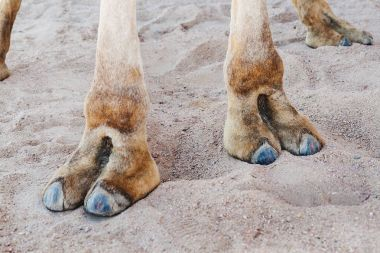 Hooves on the paws of a camel, close-up