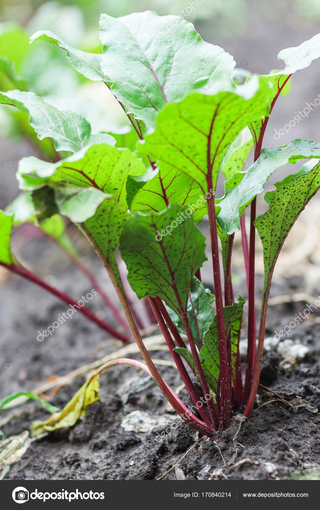 Plantas de remolacha y espinacas frescas en un suelo de jardín ...